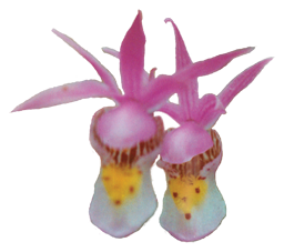 Orchid Essences